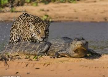 Tiếp cận từ đằng sau quả là một phương thức khôn ngoan, vừa khiến con mồi không biết để đề phòng, vừa giúp báo tránh khỏi việc đương đầu trực tiếp với cái miệng khủng của cá sấu.