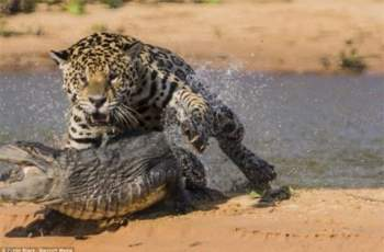 Báo đốm bắt đầu tấn công cá sấu.