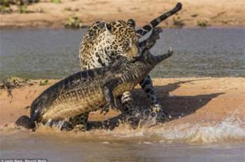 Con báo đốm đã cắn con cá sấu một nhát chí tử. Vết cắn của nó là đòn đánh trực tiếp vào hệ thần kinh trung ương của con mồi.