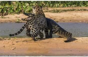Dù cố gắng tìm cách thoát thân nhưng cá sấu vẫn không thể thoát khỏi hàm răng của báo đốm.