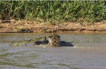 Con báo đốm bơi qua sông với con mồi ngậm chặt trong miệng.