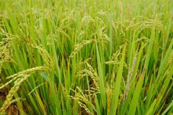 Những bông lúa trĩu hạt trên các thửa ruộng bậc thang. Ảnh: Mỹ Linh