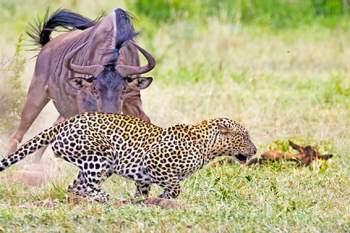 Ở lần chạm trán này, linh dương đầu bò mẹ đã giành chiến thắng khi đánh đuổi được con báo.