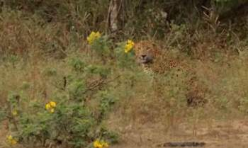 Con báo đốm đang lấp sau những bụi cây để đợi con mồi đi đến.