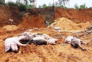 Tin nhanh - Quảng Nam tái phát dịch tả lợn châu Phi