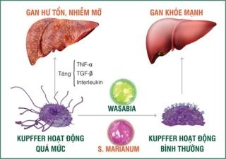 Tinh chất Wasabia và S. Marianum giúp kiểm soát hiệu quả tế bào Kupffer