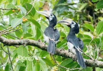 Cao cát bụng trắng, loài chim quý ở rừng thuộc Khu Bảo tồn thiên nhiên - văn hóa Đồng Nai. Ảnh: LamJiang