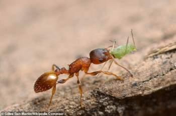 Một con kiến Temnothorax nylanderi. (Ảnh: WM)
