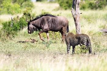 Cụ thể, khi thấy linh dương con mới sinh, bầy lợn bướu đã tiến lại với hy vọng giết chết đối thủ để làm thức ăn. Tuy nhiên, linh dương mẹ đã ra sức tấn công khiến bầy lợn bỏ chạy.
