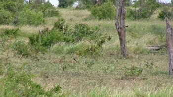 Trước đó, chú linh dương đầu bò mẹ này đã hạ sinh một chú linh dương con trong bụi cây nhỏ.