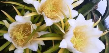 Ngỡ ngàng khoảnh khắc vườn thanh long bung nụ trắng hồng tuyệt đẹp - 11