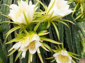 Ngỡ ngàng khoảnh khắc vườn thanh long bung nụ trắng hồng tuyệt đẹp - 10