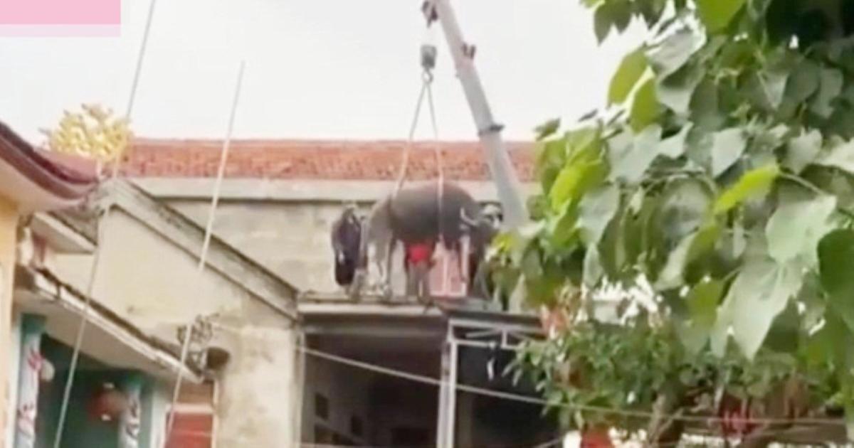Cập nhật tình hình đàn trâu miền Trung bất đắc dĩ phải bơi lên mái nhà vì lũ: Đã được đưa xuống nhờ pha giải cứu hết sức cồng kềnh