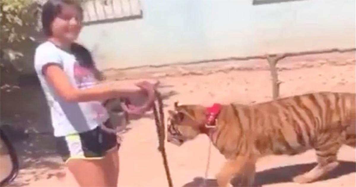 Bé gái dắt hổ đi dạo giữa đường phố gây sốt