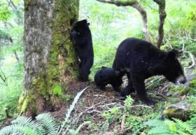 Cho con bú bị quay lén, gấu đen ngượng chín mặt và hành động...
