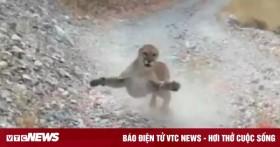 Báo sư tử lẽo đẽo theo người leo núi, chồm lên định tấn công để bảo vệ con