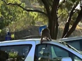 """Video: Đi vào """"vương quốc khỉ"""", bị khỉ phá ô tô"""