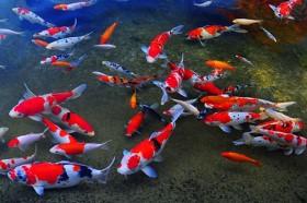 7 loài cá phong thủy mang ý nghĩa may mắn, tốt lành