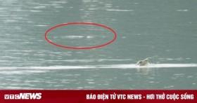 Bắt được rùa Hoàn Kiếm quý hiếm nhất thế giới ở Đồng Mô, Hà Nội