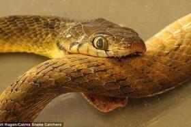 Bí ẩn lớn nhất của loài rắn ăn đuôi tự sát đã có lời giải