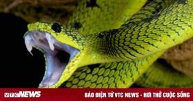 Bị rắn độc cắn, sơ cứu thế nào để không nguy hiểm tính mạng?