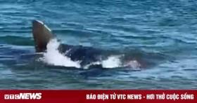 Cá mập làm thịt hải cẩu, nước biển chuyển sang màu đỏ máu ghê rợn
