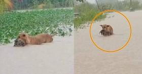 """Rơi nước mắt hình ảnh chó mẹ tha con giữa dòng lũ, hàng loạt động vật rưng rưng như kêu cứu, dân mạng xót xa: """"Người cứu còn không xuể, biết làm sao đây?"""""""
