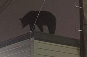 Gấu đen hơn 1 tạ xuất hiện trên nóc nhà dân ở New Jersey