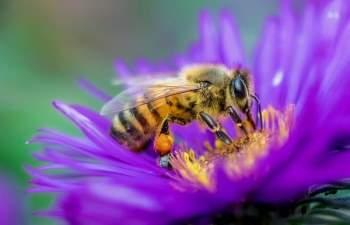 Huấn luyện ong để phát hiện COVID-19