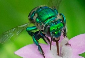 Phát hiện loài ong đẹp như kim loại quý, tạo nước hoa thay cho mật