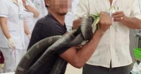 Sức khoẻ người đàn ông bị rắn hổ mang chúa cắn chuyển biến nặng: Chân bị hoại tử, nội tạng ảnh hưởng xấu