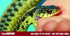 8 người bị rắn độc cắn, bác sĩ chỉ ra sai lầm khi sơ cứu nạn nhân