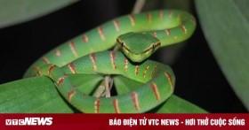 Bị rắn độc tấn công, làm gì để không nguy hiểm tính mạng?