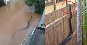 Hú hồn bé Na dài 2m tung tăng bơi lội giữa đường phố ngập nước, vắt vẻo trên bờ rào thò cổ vào trong vườn để rình mồi